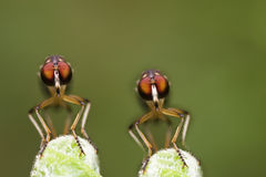 Twin Robber fly face view Royalty Free Stock Photo