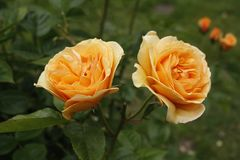 Twin roses Stock Photo