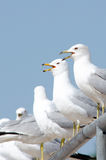 Twin  sea gulls  Royalty Free Stock Photos