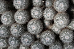 Twin spined cactus - Mammillaria Geminispina Royalty Free Stock Photography