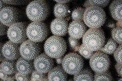 Twin spined cactus - Mammillaria Geminispina Royalty Free Stock Photos