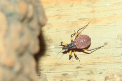 Twin-spotted assasin bug. On the wood Stock Photography