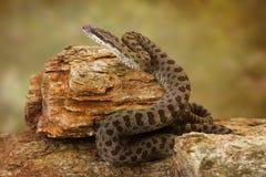 Twin-Spotted Rattlesnake on Desert Rocks Stock Photo