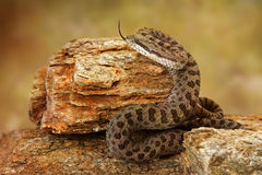 Twin-Spotted Rattlesnake With Tongue Out Royalty Free Stock Photography