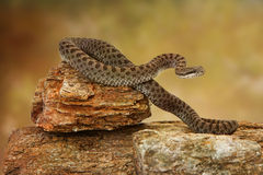 Twin-Spotted Rattlesnake On Top of Rock Stock Photography