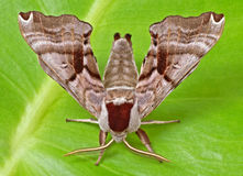 Twin-spotted Sphinx Moth Royalty Free Stock Photography