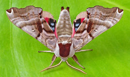 Twin-spotted Sphinx Moth Royalty Free Stock Image