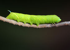 Twin-spotted Sphinx (Smerinthus jamaicensis) Caterpillar. A Twin-spotted Sphinx Caterpillar crawling on a branch with a green background stock photography