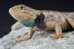 Twin-spotted spiny lizard Stock Images