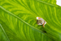 Twin-spotted Treefrog Rhacophorus bipunctatus looking curious Stock Photo
