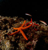 Twin star. Landscape deep star echinoderms red royalty free stock images