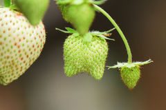 Twin strawberry. Green raw twin strawberry and branch Stock Image