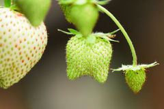 Twin Strawberry. Raw strawberry in green color look like a tooth because it is not separate Royalty Free Stock Image