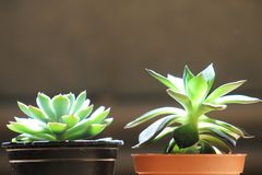 Twin succulents stock images
