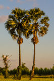 Twin sugar palm tree Royalty Free Stock Photo