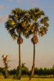Twin sugar palm tree Royalty Free Stock Photo