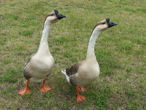 Twin Swan Geese Royalty Free Stock Photo