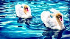 Twin Swan. Swan swimming in the blue lake water. I love the expression of this swan stock images
