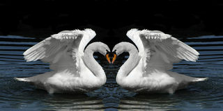Twin Swans facing to create heart shape Stock Images