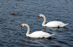 Twin Swans swimming in blue water. Twin swans swim together through blue ocean water stock photos