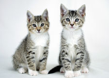 Twin Tabby Kittens Adoption Photo Royalty Free Stock Photography