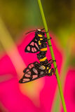Twin tiger grass borer moth Stock Photo