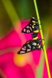 Twin tiger grass borer moth Stock Image