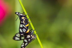 Twin tiger grass borer moth Stock Images