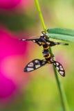 Twin tiger grass borer moth Stock Photo