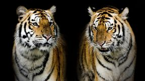 Twin tiger. (And you could find more animals in my portfolio.). Closeup Twin tiger animal wildlife on black color background(And you could find more animals in Royalty Free Stock Images