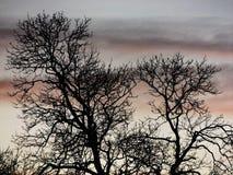 Twin tree royalty free stock photography