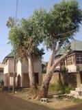 Twin Tree. The twin tree of Hanwa stock images