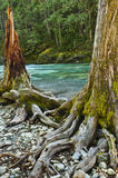 Twin Trees intertwined at the roots. Two trees with roots intertwined at the edge of a riverbank in a forest with turquoise colored water from copper deposits stock images