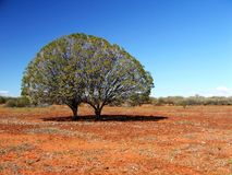 Twin Trees on Stony Plain. Twin Eremophila Bushes on a Red Stony Plain in the Sturt Desert, Australia Stock Photography