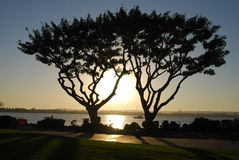 Twin trees at sunset. Two trees are entwined and backlit by the sunset near the ocean Royalty Free Stock Photo