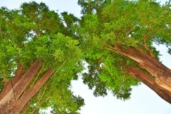 Twin trees Royalty Free Stock Photography