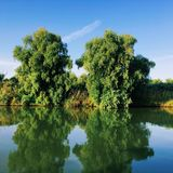 Twin trees royalty free stock photos