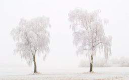 Twin Trees at Winter Time Royalty Free Stock Image