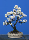 A twin trunk blackthorn bonsai in full spring flower. A blackthorn bonsai in full spring flower. In a shallow cream drum pot this tree is the gift that keeps on Stock Photos