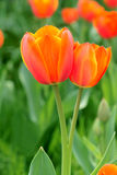 Twin tulip Stock Images