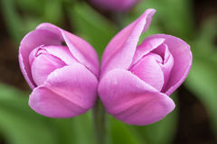 Twin tulip, Keukenhof Garden, Holland. Twin tulip at Keukenhof Garden, Netherlands Stock Image