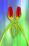 Twin Tulips Royalty Free Stock Images