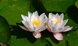 Twin water Lilies and Lily Pads. Twin white water lilies with reflection and lily pads Stock Photos
