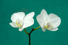 Twin White Bloom Stock Image