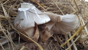 White straw mushroom