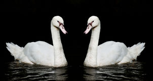 Twin white swan on black background Stock Photography