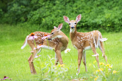 Twin White Tailed Deer Fawns. Two Baby White Tailed Deer  (Odocoileus virginianus) stand amid flowers in a garden in eastern U.S Royalty Free Stock Photo