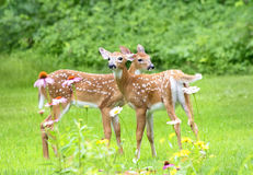 Twin White Tailed Deer Fawns. Two Baby White Tailed Deer  (Odocoileus virginianus) stand amid flowers in a garden in eastern U.S Stock Image