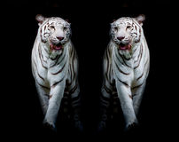 Twin white tigers are walking isolated on black background Stock Photos