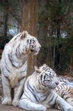 Twin white tigers Royalty Free Stock Images